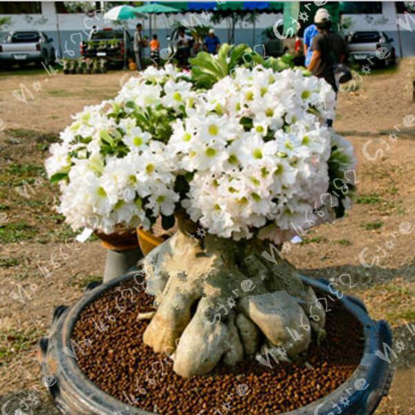 100% True New Breed Thailand Grafted White Double-petal Desert Rose Potted Home Garden Flowers Bonsai Plants Adenium Obesum 1pcs