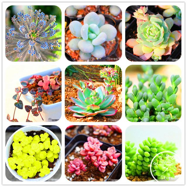 Lithops Flores Pseudotruncatella Succulent Seeds (500 Pieces)