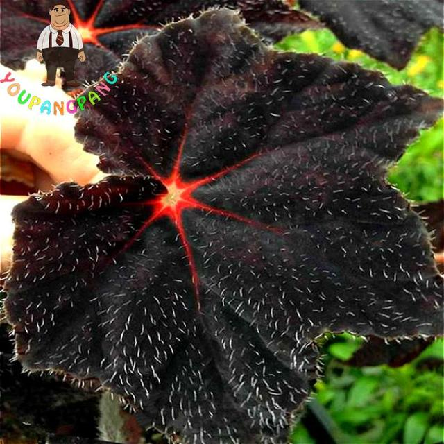 100pcs Angel Wings Plant Seeds New Varieties Of Coleus