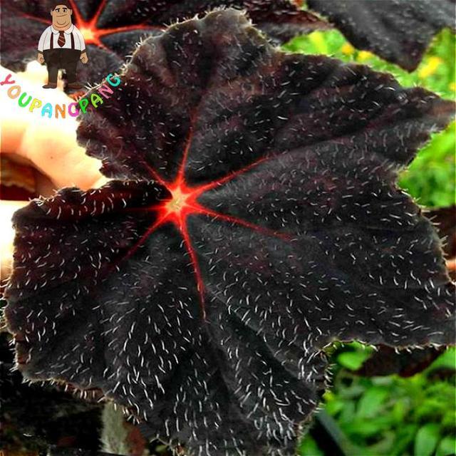 100pcs Plant Plants Varieties Coleus Garden Jardin Potted