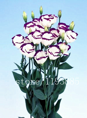 200pcs/pack purple Lisianthus seeds Rare eustoma seeds Flower Seeds Bonsai Seeds for Home & Garden