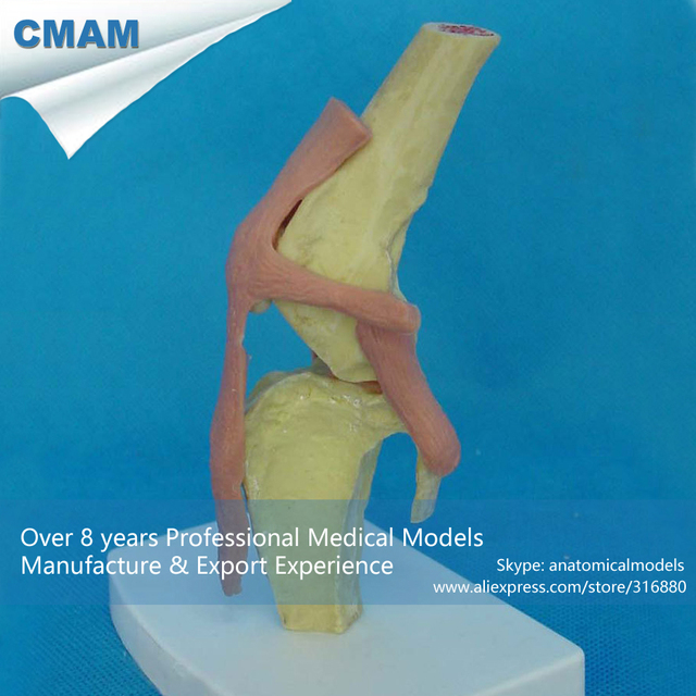 CMAM A18 Anatomical Canine / Dog Knee Joint Model Medical Animal ...