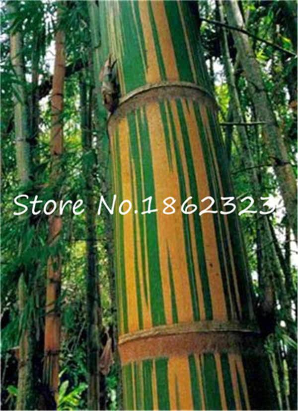 Крытый бонсай растения в горшках 20 шт./пакет редкий синий бамбук завод, карликовый бамбук в горшке, Lucky поглощение излучения декоративный сад