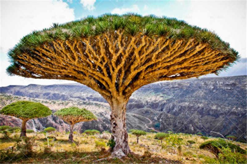 50 шт./пакет бонсай дракон крови дерево редко семена дерева карликового дерева драцена узколистный многолетнее для уличных растений для дома и сада
