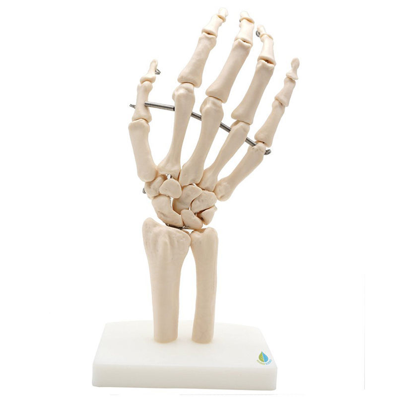 Professional Hand Joint Anatomical Skeleton Model Medical Health AnatomyProfessional Hand Joint Anatomical Skeleton Model Medical Health Anatomy