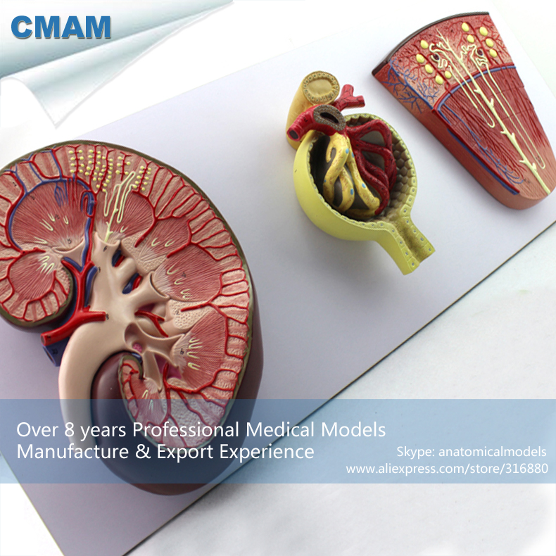 12435 CMAM-KIDNEY06 Human Stereo Glomerulus Nephron kidney Organ Model, Medical Science Educational Teaching Anatomical Models human anatomical anaglyptic glomerulus nephron kidney organ medical teach model school hospital