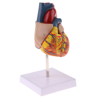 1:1 Human Anatomical Emulational Heart Anatomy Viscera Medical Organ Model for Study Education School Lab Teaching Aids Supplies