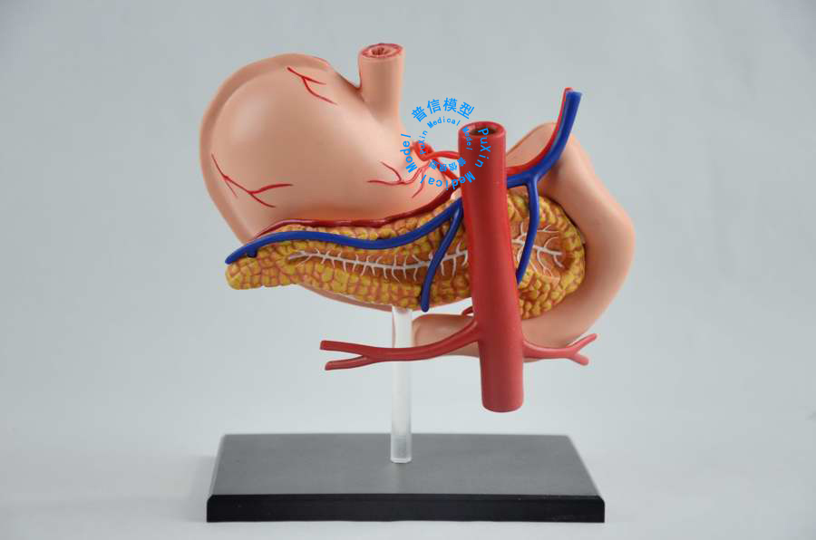 Großzügig Veterinär Anatomie Modelle Galerie - Menschliche Anatomie ...