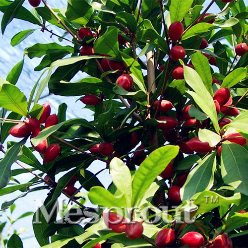 New 10pcs Chinese Heirloom Synsepalum Dulcificum Fruit Seeds Red Secret Fruit Like Cherry Very Delicious Free Shipping