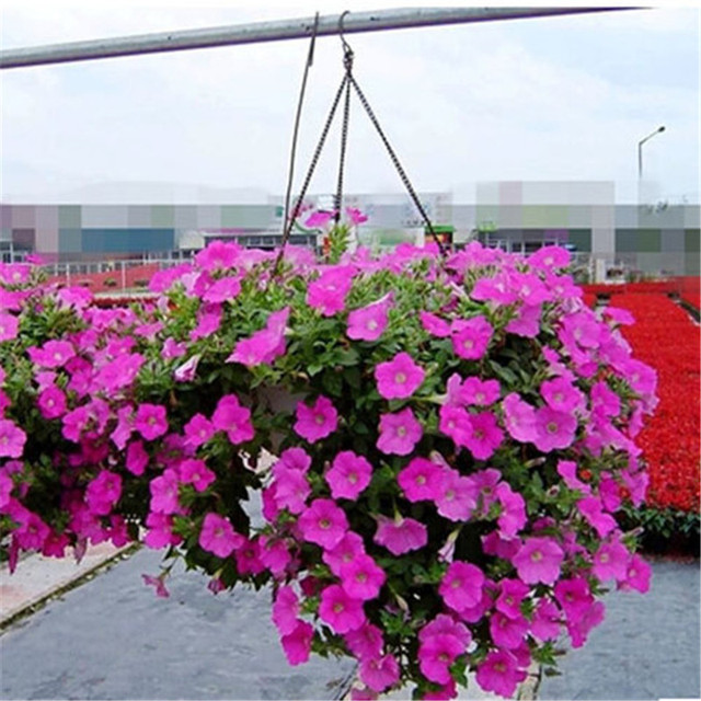 Balcony Patio Potted Flower Seeds Pink Petunia Easy Wave Series Qnew013 50 Pcs Lot
