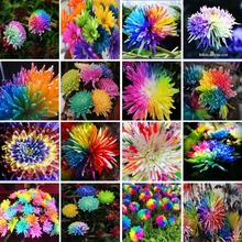 100pcs/bag rainbow daisy seeds,chrysanthemum seeds,bonsai flower seeds,beautiful potted plants for home garden,send gift 10 rose