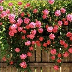 50 семена / упаковки розы семян рассада выросли растения балкон растения бонсай семена семян розы