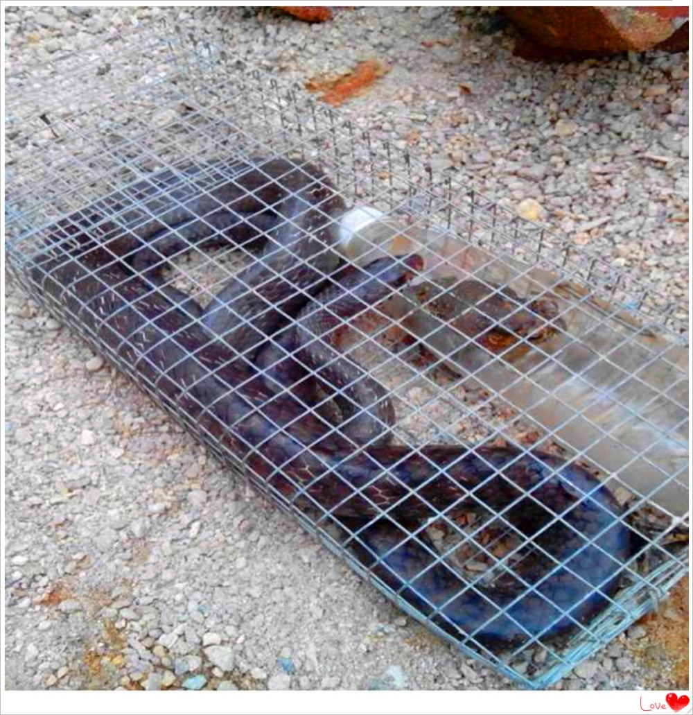 how to catch a woodchuck in a live trap