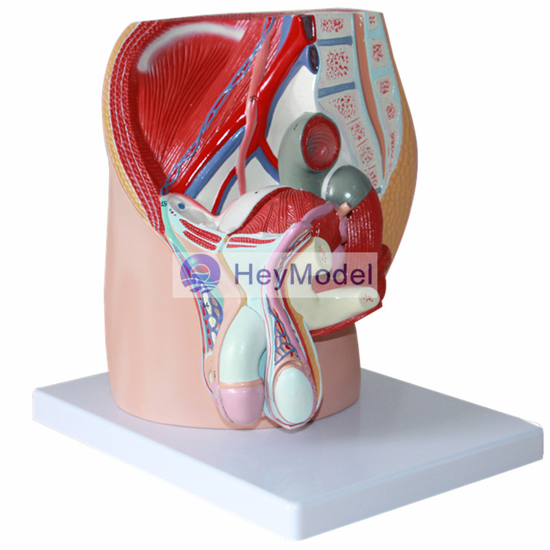 HeyModel male pelvic median sagittal section model male reproductive system male genitourinary anatomy model median sagittal of female pelvis female pelvic cavity model reproductive system anatomical model