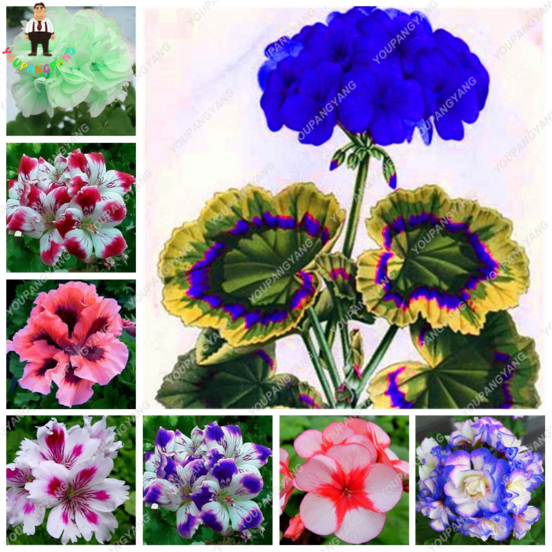 50 Pcs/Pack Rare Blue Geranium plants Perennial Rare Flower plants For Indoor Rooms Bonsai Potted Flower Elegant Mix-Color fake rose flowers