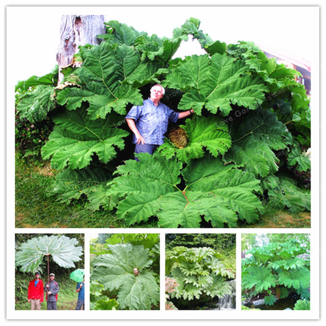 Gunnera Manicata Seeds Also Called Giant Rhubarb Seeds Grow In