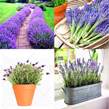 200pcs/bag french provence lavender flower fragrant organic bonsai  flowers Home Garden plant