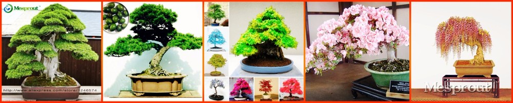 sakurabonsai-tree01