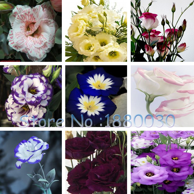 Hot Sale Eustoma Seeds Perennial Flowering Plants Balcony Potted Flowers Seeds Lisianthus for DIY Home & Garden 120PCS