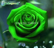 100PCS Seeds Chinese Green Rose Seed For Lover Green Rose Seed MD32302(China)