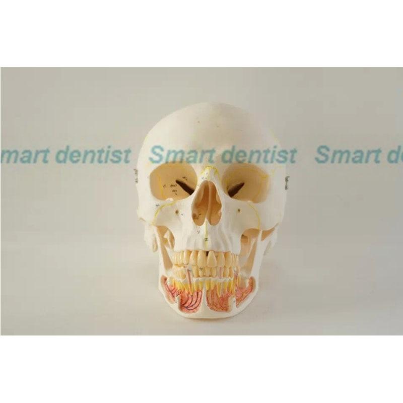 2016 Schedel model 10*1 orale model tand tand tandarts tanden ...