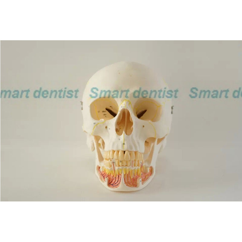 2016 Skull model 10*1 extraoral model dental tooth teeth dentist anatomical anatomy model odontologia dh202 2 dentist education oral dental ortho metal and ceramic model china medical anatomical model