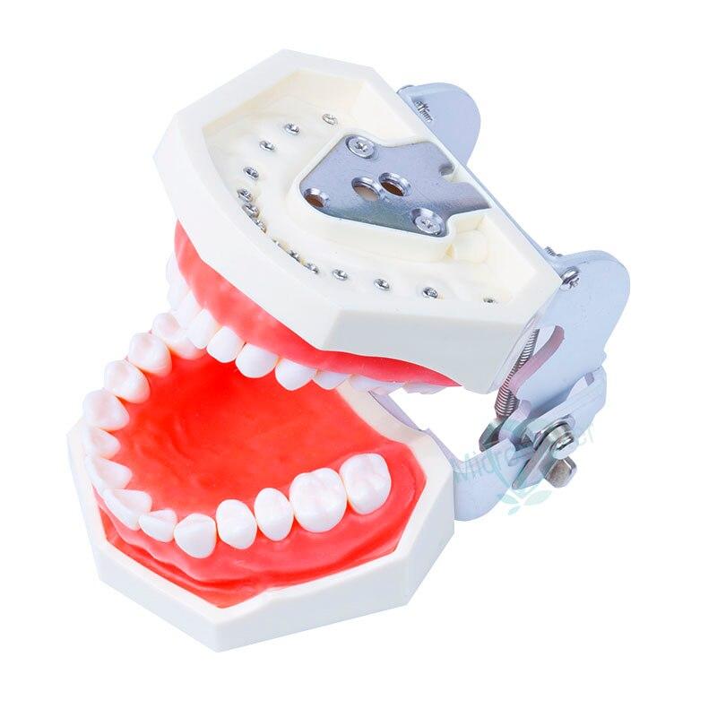 Modèle d'enseignement dentaire modèle Standard dents amovibles modèle de gomme souple nouveau