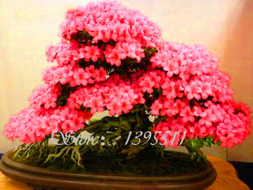 Azalea Seeds 100Pcs