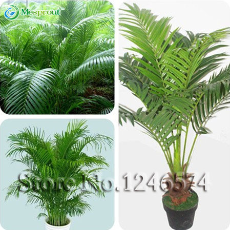 5PCS / Bag Chrysalidocarpus Lutescens Seeds, Home Decoration Seeds Indoor  Plants Free Shipping(China