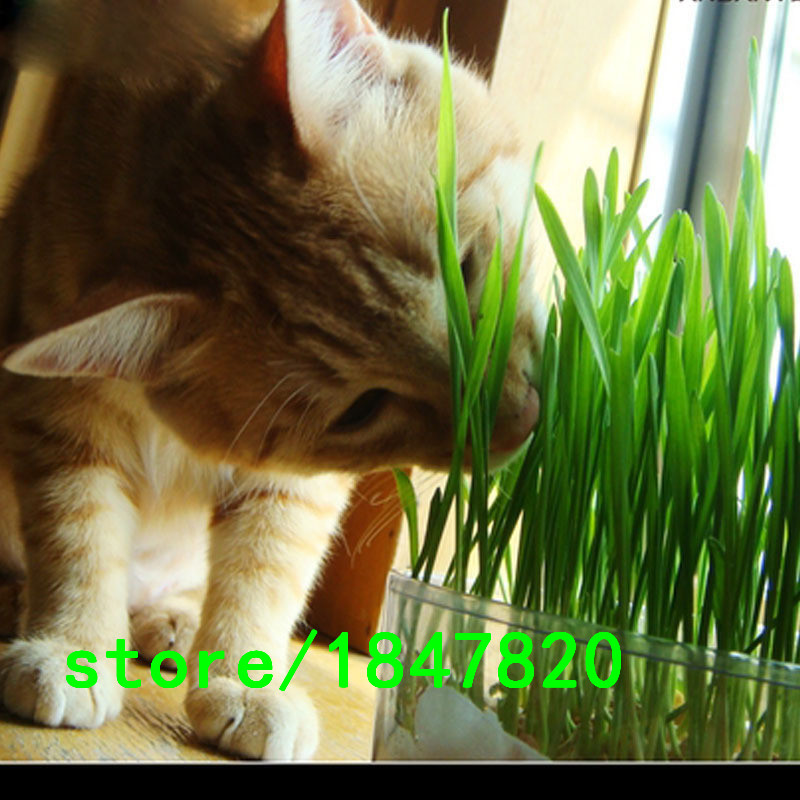 Hot Sale!!! Grass Kittens Cats Like to Eat Wheat Grass Plant Seeds Can Be Repeatedly Harvested Wheat Seeds 100PCS Free Shipping