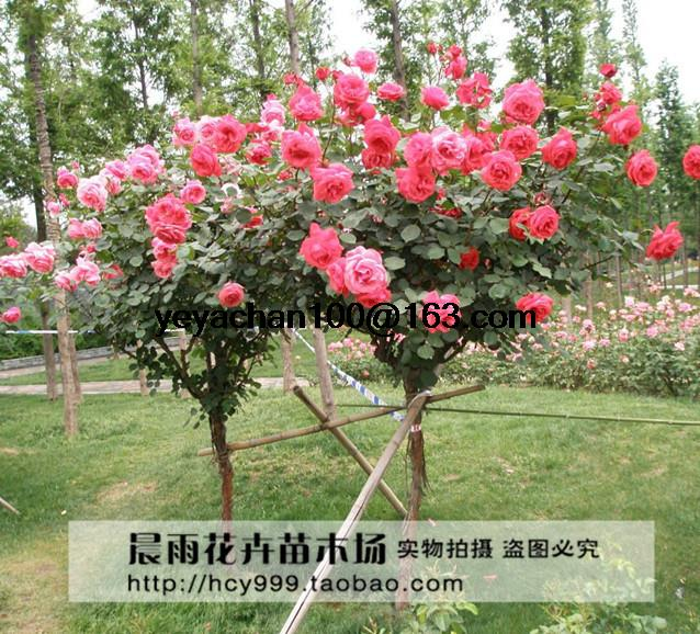 rose tree seeds diy home garden potted balcony yard flower plant 100pcschina. beautiful ideas. Home Design Ideas