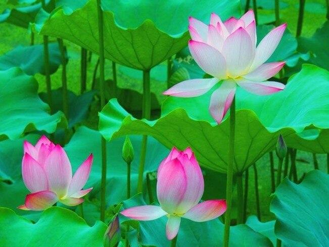 aliexpress  buy  pcs   kinds  water lily lotus seeds, Beautiful flower
