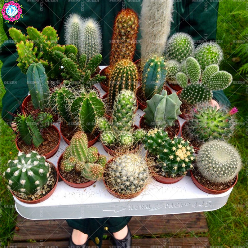 50pcs mixed cactus real prickly pear succulent plant lithops bonsai planting for diy home garden