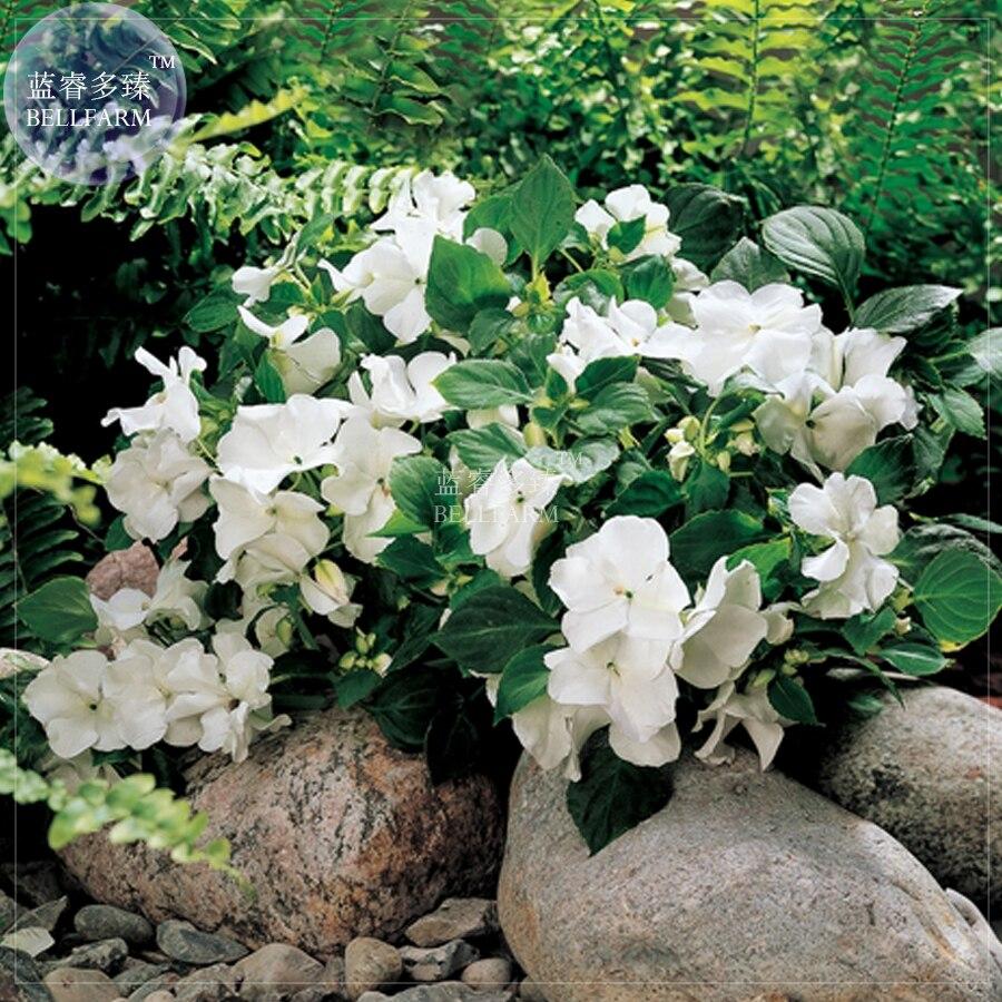 Bellfarm White Impatiens Walleriana Bonsai Flowers 40pcspack