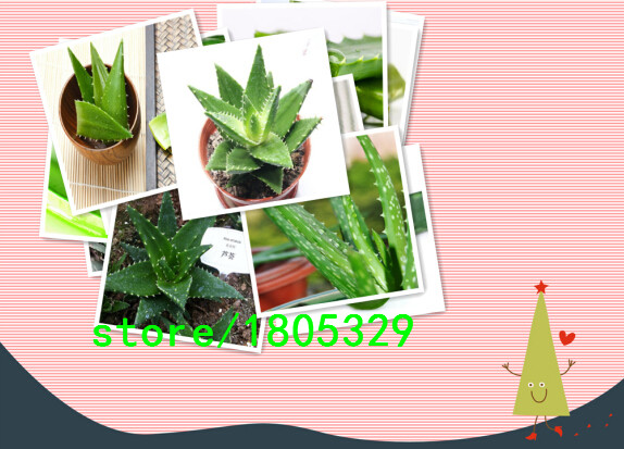 200 Aloe Seeds Mix – Excellent Houseplants succulent ALOE VERA SEED