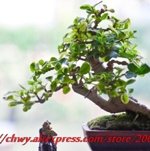 5seeds/bag Free shipping, Chinese green tea tree seeds, perennial plant bonsai tree seeds sitting room formaldehyde removal