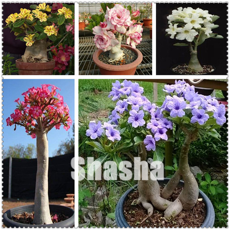 Bonsai Obedient 2 Pcs/bag High Quatily Desert Rose Bonsai All Kinds Of Adenium Obesum Plant Pot Bonsai Flower Flores For Home Garden Plant Colours Are Striking Home & Garden