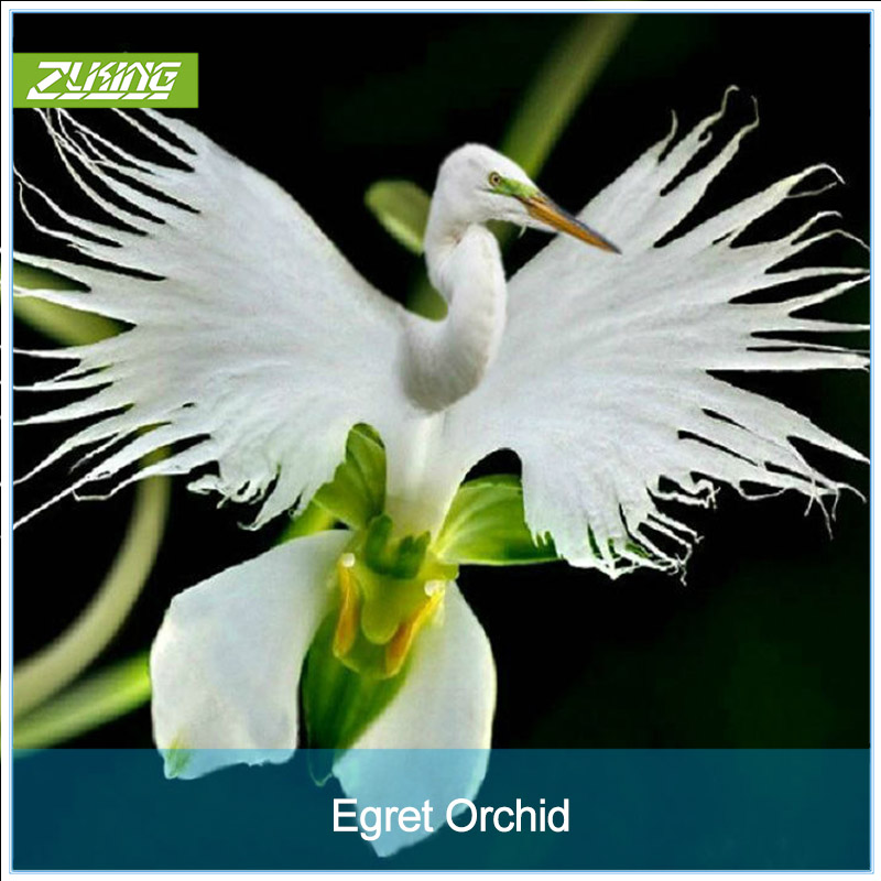 Zlking 200 Japanese Radiata White Egret Orchid Bonsai Worlds Rare Orchid Species Flowers Orchidee For Garden Home Garden Pots & Planters