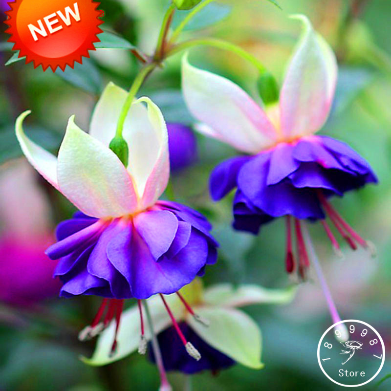 New fresh pink purple bell flowers fuchsia bonsai potted flower aeproducttsubject mightylinksfo