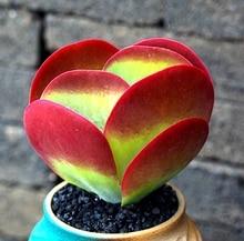 Buy  en suculentas planta seed Kalanchoe thyrsi  online