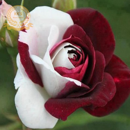 Rare Heirloom White Red Rose Bush Flower Seeds, Professional Pack, 50 Seeds / Pack, Strong Fragrant Garden Flower KK105 портал сайт