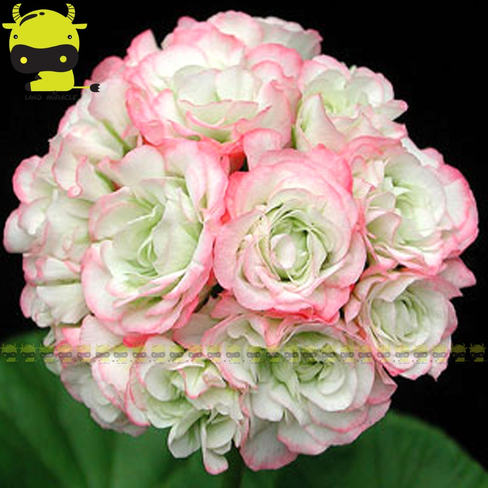 5 Seedspack White With Pink Edge Appleblossom Rosebud Pelargonium