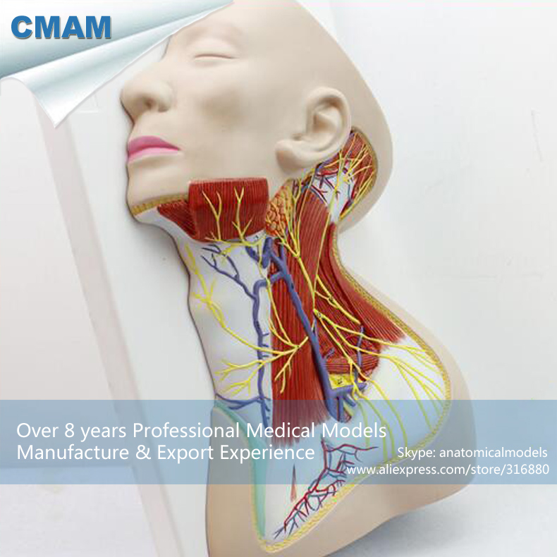 12418 CMAM-BRAIN20 Life Size Human Anatomy Nerves of Neck Region,  Medical Science Educational Teaching Anatomical Models 12400 cmam brain03 human half head cranial and autonomic nerves anatomy medical science educational teaching anatomical models