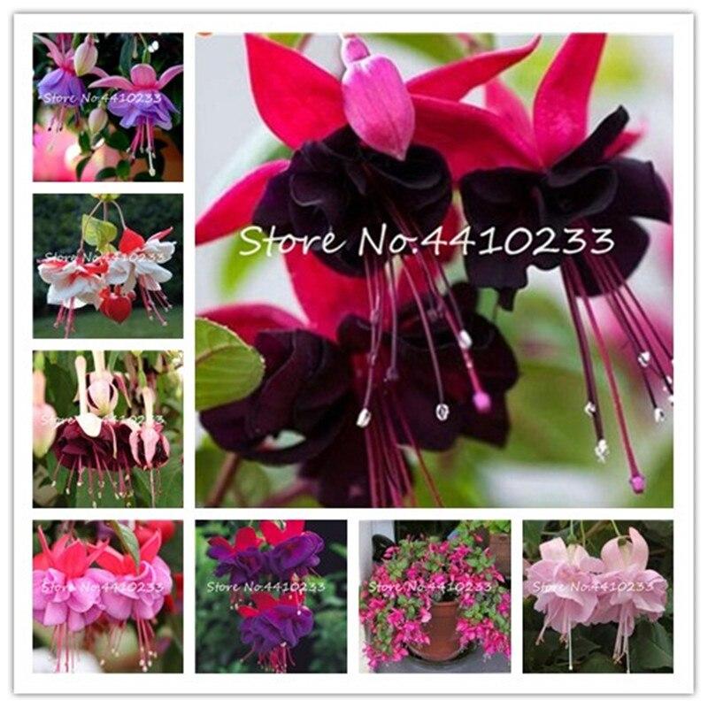 100 шт./пакет несколько Цвет фуксия бонсай, ыйбрида Хорт Флорес, бонсай Фонари цветы, для сада домашние цветущие растения
