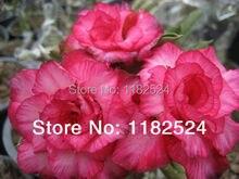 20 семена — свежий редкие » роза SUPAN » Adenium Obesum семена — бонсай семена