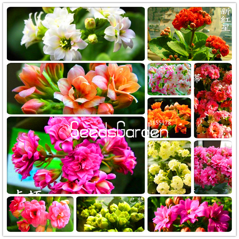 Lowest Price! 100 Pcs/Bag Kalanchoe potted plants saplings potted seedlings flower seeds