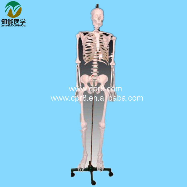 BIX-A1001  Human Skeleton Model W033 bix a1005 human skeleton model with heart and vessels model 85cm wbw394