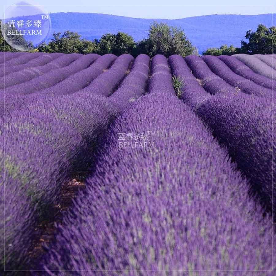 Bellfarm Bonsai French Provence Lavender Blue Purple White Black