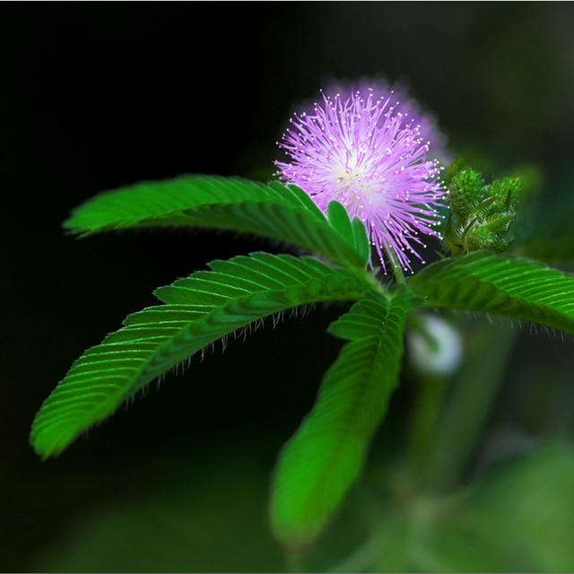 Zimmerpflanzen Sukkulenten 150 stücke einfach zu überleben mimosen baum samen mehrjährige
