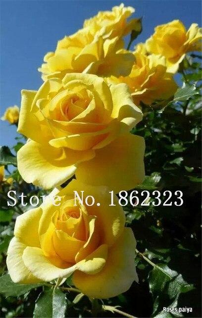 5 pz Heirloom Arrampicata Fiore di Peonia Albero Della Tailandia Pianta Bonsai Ibridi Fiori Albero Perenne Bonsai Piante Da Fiore Decorazione del Giardino